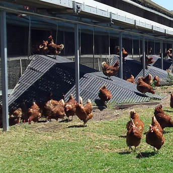 Our hens have free range and love both their shelter and the outdoors